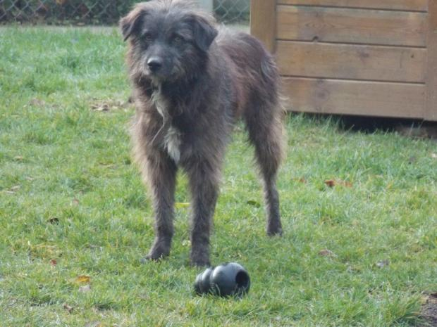 Adopter JUMP, chien berger male de 3 ans