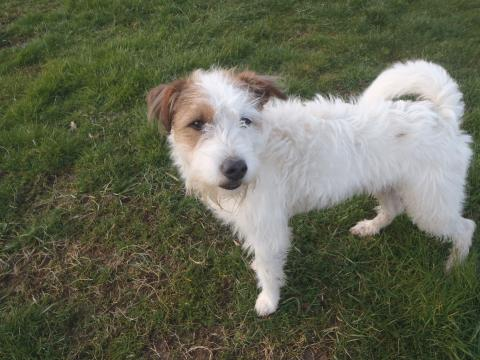 Adopter KENOBI, chien terrier male de 10 ans