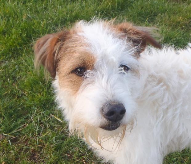 Adopter KENOBI, chien terrier male de 13 ans