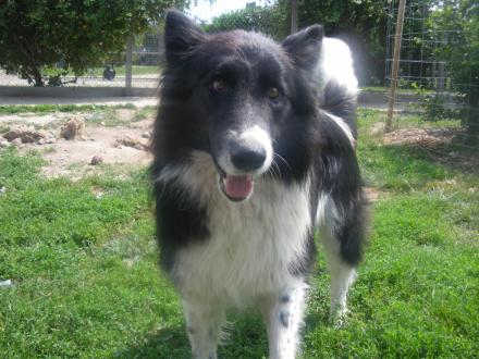 Adopter LENI, chien border_collie male de 13 ans