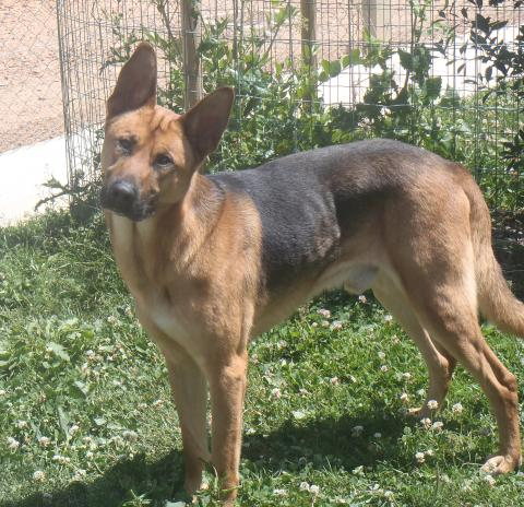 Adopter MIRACLE, chien berger_allemand male de 8 ans