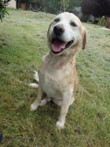 Adopter MARLEY, chien retriever male de 12 ans
