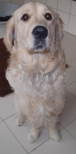 Adopter MARS, chien retriever male de 7 ans
