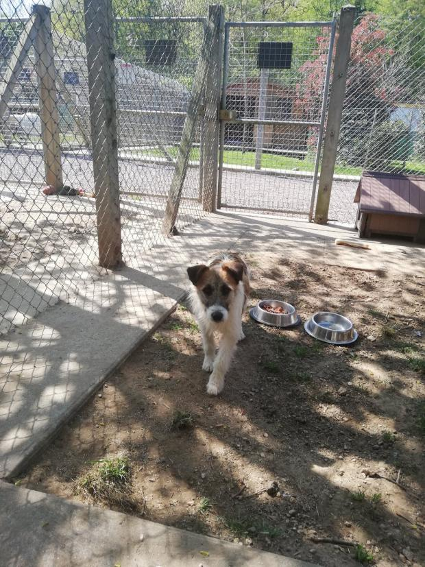 Adopter MEIKO, chien fox_terrier male de 2 ans