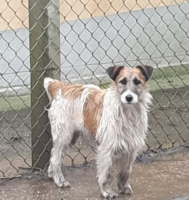 Adopter MEIKO, chien fox_terrier male de 4 ans