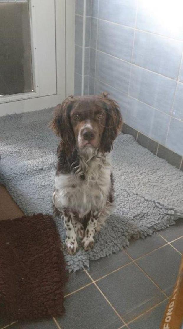 Adopter MICKEY, chien epagneul male de 2 ans