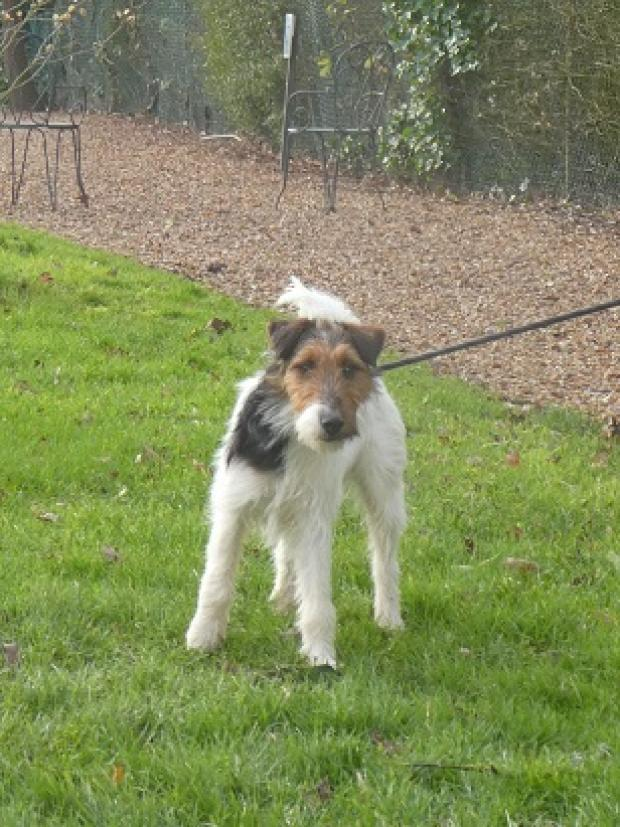Adopter oppie, chien fox_terrier male de 13 mois