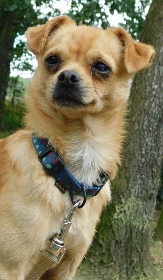 Adopter PEPETTE dit PUPUCE, chien chihuahua femelle de 1 an