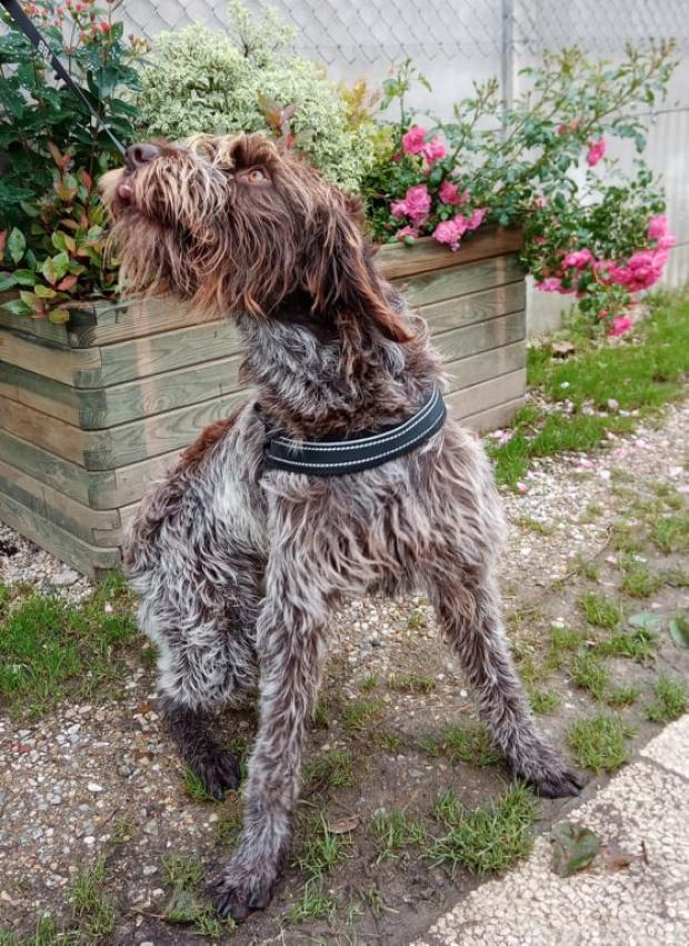 Adopter PERCEVAL, chien korthal male de 2 ans