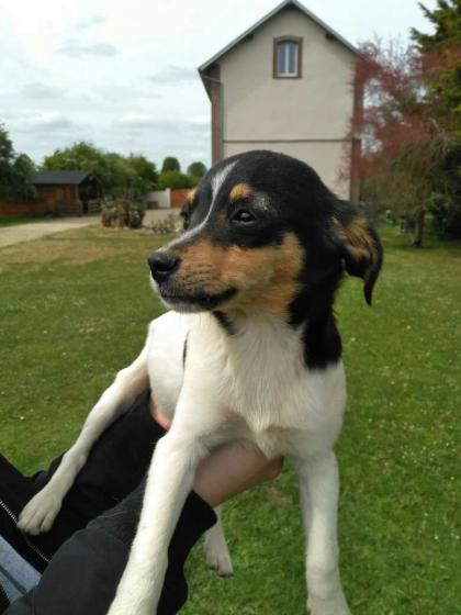 Adopter PITCH, chien jack_russel male de 1 an