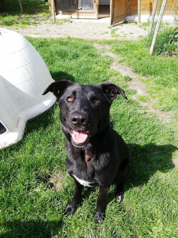 Adopter PUNKS, chien labrador male de 3 ans