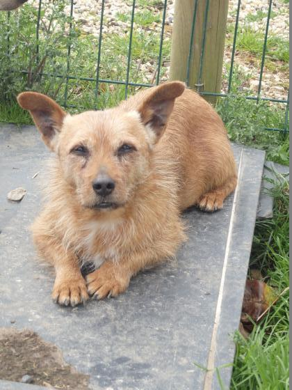 Adopter PUPUCE, chien terrier male de 9 ans