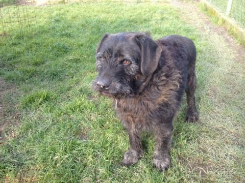 Adopter RAMBO, chien griffon male de 13 ans