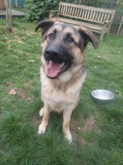 Adopter SIMBA, chien berger_allemand male de 1 an