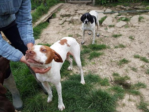 Adopter SIMON, chien pointer male de 7 ans