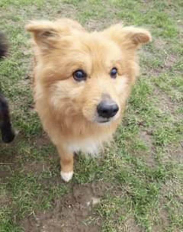 Adopter TANGO, chien chow-chow male de 11 ans