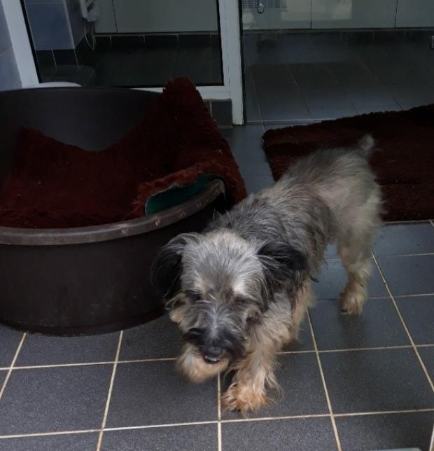 Adopter TOMMY, chien yorkshire male de 6 ans