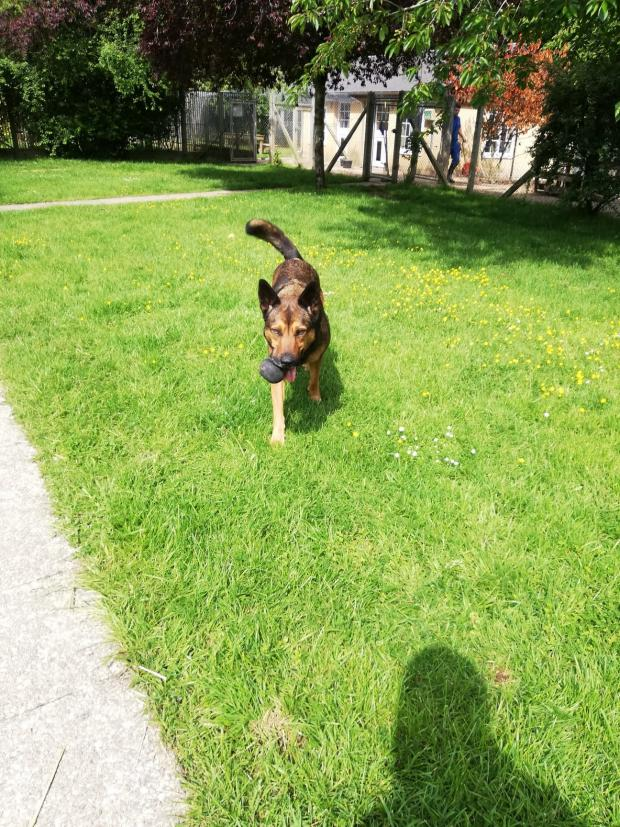 TEQUILA berger_malinois
