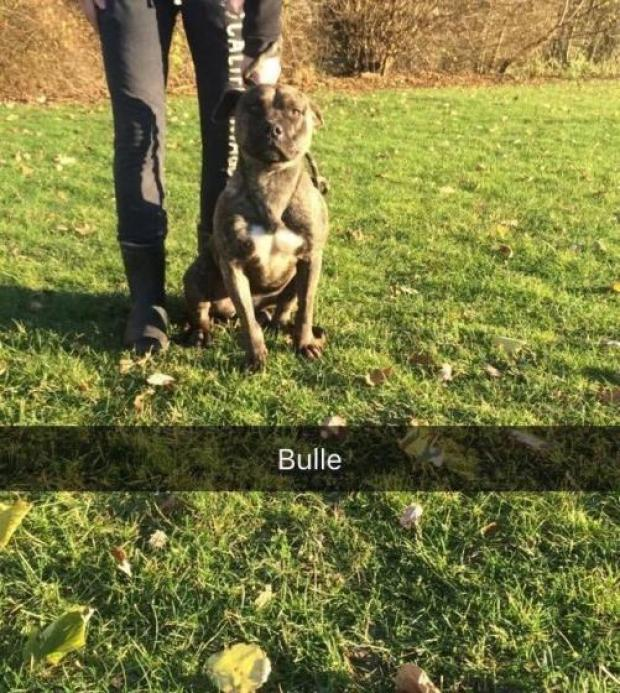 BULLE dogue_des_canaries