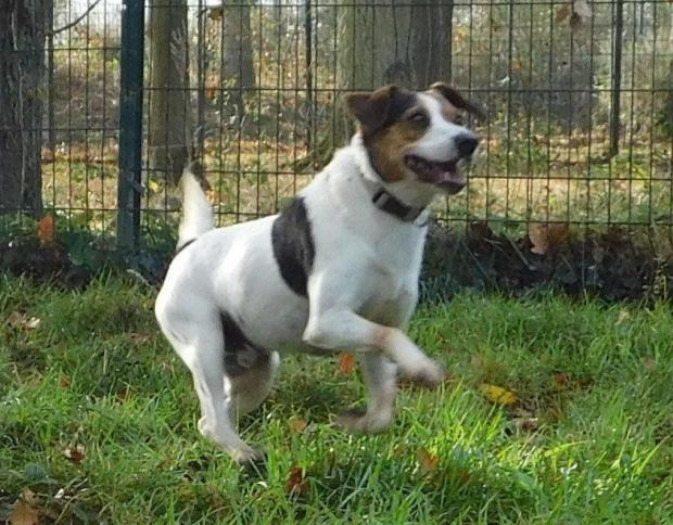 Adopter Le Chien GOLD, JACK RUSSEL Male