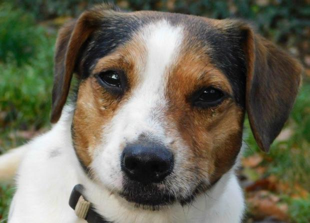 GOLD jack_russel