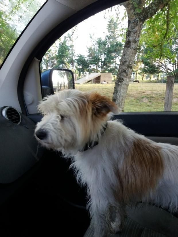 GUIZMO west_highland_white_terrier