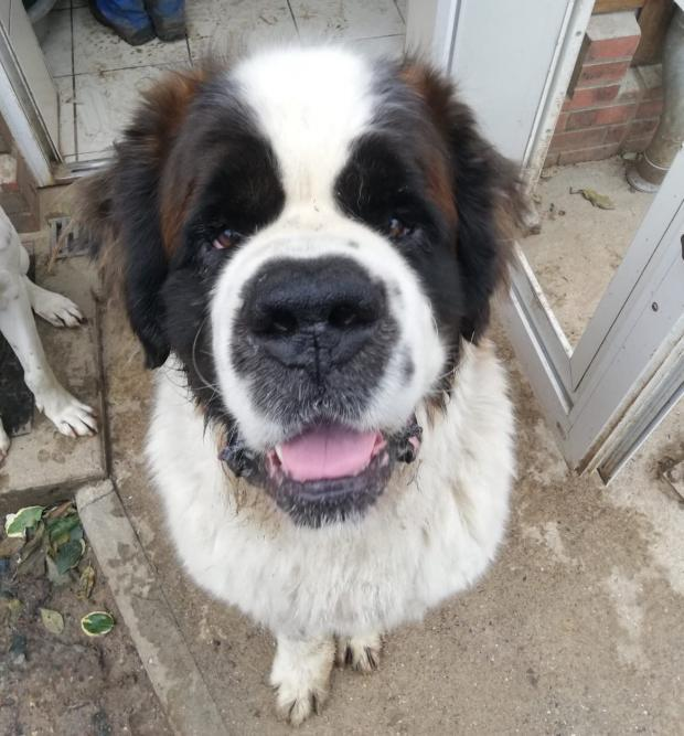 MONSTER saint_bernard