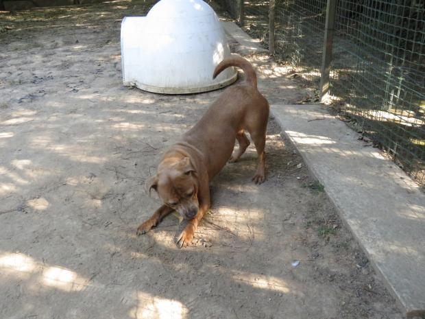 THELMA staffordshire_terrier_americain